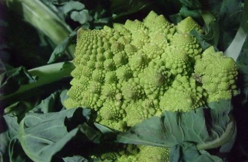 delicious fractal romanesco from Ash Green Organics